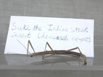 Suki the Indian Stick Insect